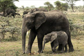 The elephant calf with mum - an elephant cow. — Stock Photo