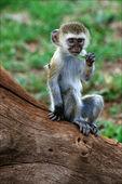 Vervet Monkey cub. — Stock Photo