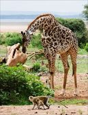 Giraffe and monkeys. — Stock Photo