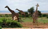 Three giraffes. — Stock Photo