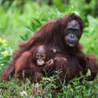 Female the orangutan with the kid on a grass. - Stock Photo