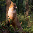 Stock Photo: Fox.