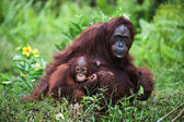 Female the orangutan with the kid on a grass. — Стоковое фото