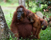 The orangutan Mum with a cub. — Stock Photo