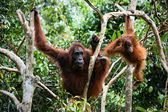Female the orangutan with the kid in branches of trees — Stock Photo