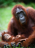 Female the orangutan with the cub. — Стоковое фото