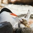 Stock Photo: Tern and baby.