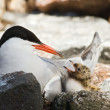 Tern and baby. — Stock Photo #3973950
