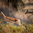 Royalty-Free Stock Photo: Impala  is running.