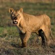 Stock Photo: Had dinner lioness