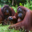 Orangutan adult female. — Stock Photo #3977520