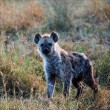 Young Spotted hyena. — Stock Photo