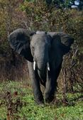 The annoyed elephant. — Stock Photo