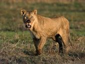 The had dinner lioness — Stock Photo