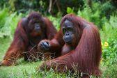 红毛猩猩成年女性. — 图库照片