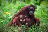 Female orangutan with the baby on a grass. — Stock Photo