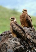 Black Kite. — Stock Photo
