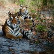 Bengal Tigers - Stock Photo
