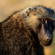 Portrait of baboon. — Stockfoto #4003750