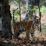 The Bengal tiger. — Stock Photo
