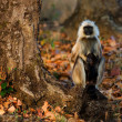 Langur with a cub. - Stock Photo