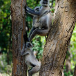 Stock Photo: Langurs on tree.