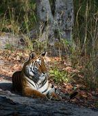 Tigress. — Stock Photo
