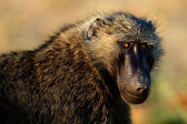 Portrait of a baboon. — Stock Photo