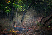 A huge male Tiger walks straight head . — Stock Photo