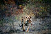India Tiger. — Stock Photo