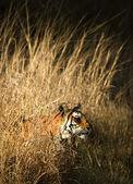 ROYAL BENGAL TIGER. — Stock Photo