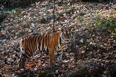 Panthera tigris tigris — Stok fotoğraf