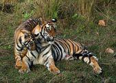 Tigress and cub. — Stock Photo