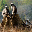 Gray langurs/ Presbytis entellus — Stock Photo