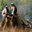 Gray langurs/ Presbytis entellus - Stock Photo