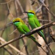 Stock Photo: Two Little Green Bee eaters.