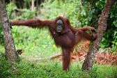 The female of the orangutan poses, having accepted a pose between trees. A green background of wood. — Foto Stock