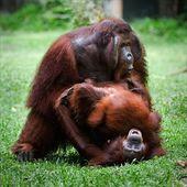 Orangutan love. — Foto Stock