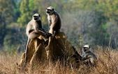 Gray langurs/ Presbytis entellus — Foto de Stock