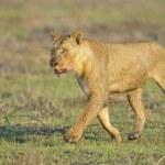 Постер, плакат: Lioness after hunting