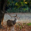 Stock Photo: Male Spotted Deer (Axis axis).