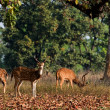 Foto Stock: Spotted Deers.
