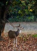 Male Spotted Deer (Axis axis). — Стоковое фото