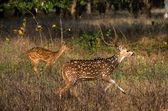 Axis or Spotted Deer (Axis axis) INDIA Kanha National Park — Stock Photo