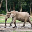 African Forest Elephant ( Loxodonta cyclotis). — Stock Photo