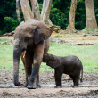 Постер, плакат: The elephant calf drinks milk at mum