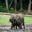 The kid the elephant calf with mum. - Stock Photo