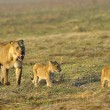 Постер, плакат: Lioness after hunting with cubs