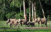 African Forest Elephants ( Loxodonta cyclotis). — Stock Photo