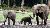 Family of forest Elephants. — Stock Photo